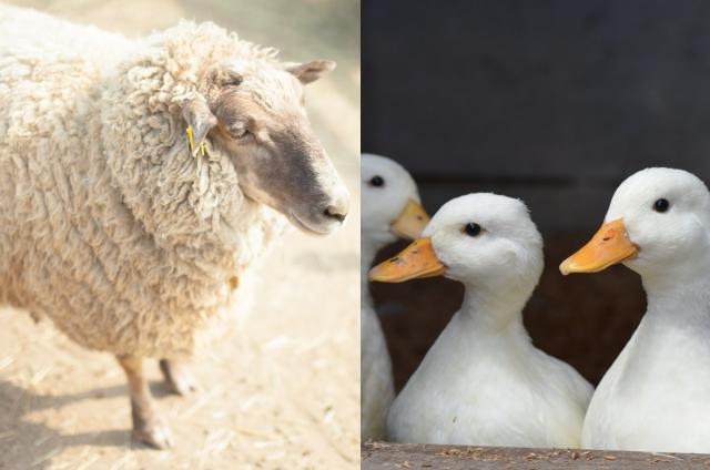 羊とアヒル